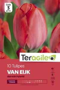 Tulipe Darwin Van Eijk - Calibre 12/+ -X10