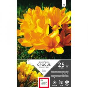 Crocus Grande Fleur Golden Yellow - Calibre 8/9 - X25