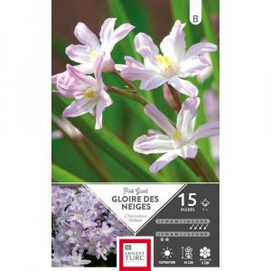 Chionodoxa Forbesii Pink Giant - Calibre 5/+ - X15