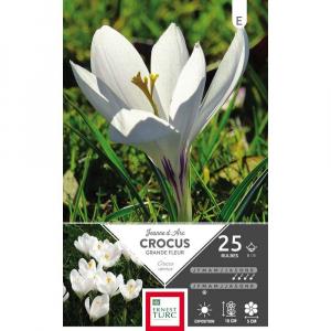 Crocus Grande Fleur Jeanne D'Arc - Calibre 8/9 - X25