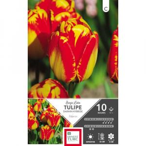 Tulipe Darwin Hybride Banja Luka - Calibre 12/+ - X10
