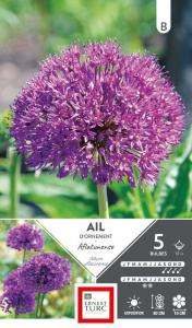 Allium Haut Aflatunense - Calibre 12/+ - X5
