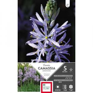 Camassia Leichtlinii Caerulea - Calibre12/+ - X5