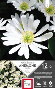 Anemone Blanda White Splendour - Calibre 5/+ - X12