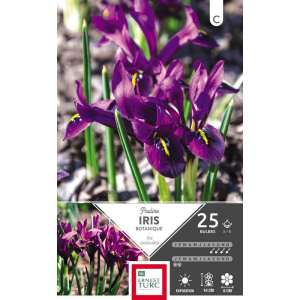 Iris Reticulata Pauline - Calibre 5/6 -X25
