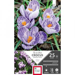 Crocus Grande Fleur Roi Des Stries  - Calibre 8/9 - X25