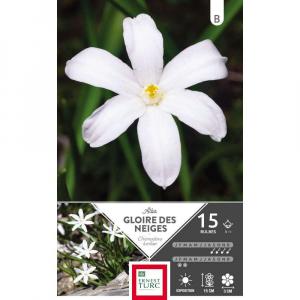Chionodoxa Luciliae Alba - Calibre 5/+ - X15