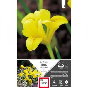 Iris Reticulata Danfordiae - Calibre 5/6 - X25