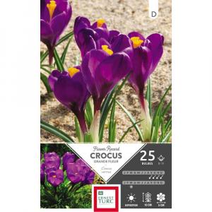 Crocus Grande Fleur Flower Record - Calibre 8/9 - X25