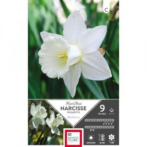 Narcisse Trompette Mount Hood - Calibre12/14 - X9