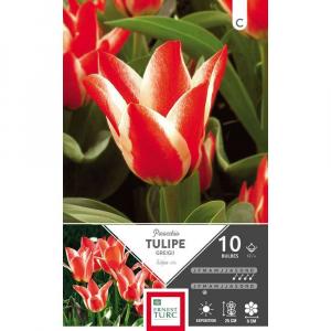 Tulipe Greigii Pinocchio - Calibre 12/+- X10