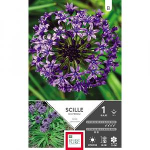 Scilla Peruviana - Calibre 14/+ - X1