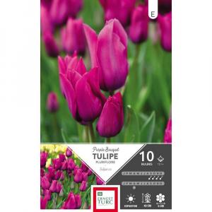 Tulipe Pluriflore Purple Bouquet - Calibre 12/+ - X10