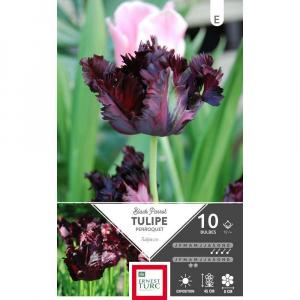Tulipe Perroquet Black Parrot - Calibre12/+ - X10