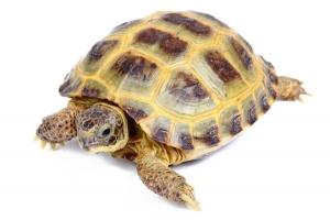 Testudo Horsfieldii ou tortue des steppes - Stoffels
