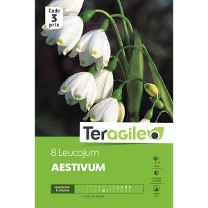 Leucojum aestivum - Calibre 8/+ - X8