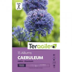 Allium azureum caerul - Calibre 4/5 - X1 5