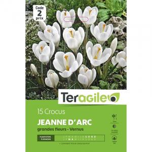 Crocus grandes fleurs jeanne d'arc - Calibre 7/8 - X15