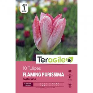 Tulipe fosteriana flaming purissima - Calibre 10/11 - X10