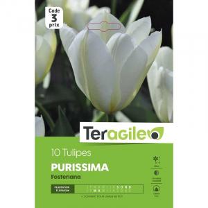 Tulipe fosteriana purissima - Calibre 12/+ - X10