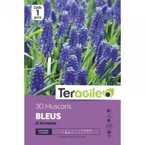 Muscari d'armenie bleu - Calibre 7/8 - X30