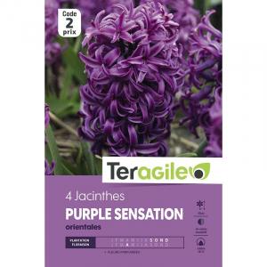 Jacinthe purple sensation - Calibre 16/17 - X4