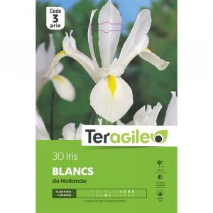 Iris de hollande blanc - Calibre 8/9 - X 30