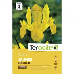 Iris de hollande jaune - Calibre 7/8 - X30