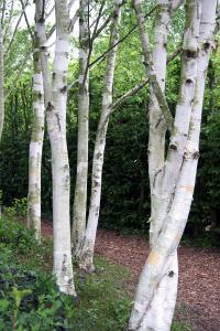 Bouleau de l'Himalaya - Betula utilis -150/200 cm - Contenant de 7,5 litres