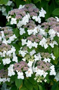 Viorne de Chine - Viburnum plicatum 'Lanarth' - Contenant de 4 litres