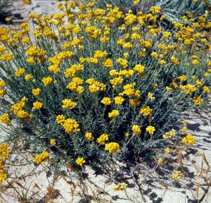 Helichrysum italicum - Contenant de 4 litres