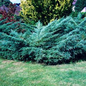 Juniperus Pfitzer 'Glauca' - Contenant de 4 litres