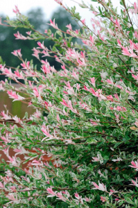 Saule crevette - Salix integra hakuro nishiki - 1/2 tige  - Contenant de 5 litres