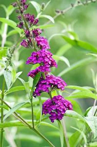 Arbre aux papillons - Buddleia davidii 'Royal Red' - Contenant de 4 litres