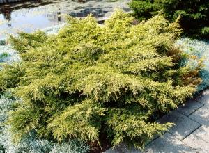 Juniperus de Pfitzer 'Gold Coast' - Contenant de 4 litres