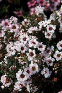 Leptospermum 'Snow Flurry' - Co ntenantde 2 litres