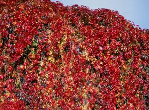 Vigne vierge de Virginie 'Engelmanii' -Tipi - Contenant de 3 litres
