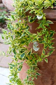 Solanum jasminoides aureovariegata - Contenant de 3 litres