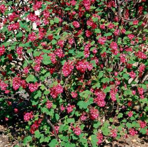 Groseillier à fleurs - Ribes sanguineum'King Edward VII' -  Contenant de 4 litres