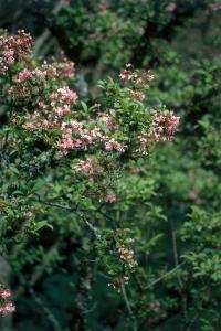 Viorne d'hiver - Viburnum bodnantense dawn - Contenant de 4 litres
