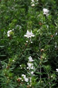 Westringia eremicola - Contenant de 4 li tres