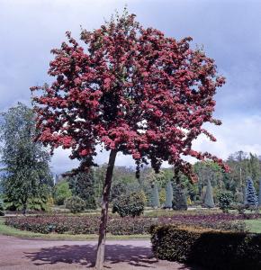 Aubépine - Crataegus laevigata 'Crimsoncloud' - 150/200 cm -  Contenant de 10 litres