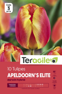Tulipe darwin apeldoorn - Calibre 12/+ - X10