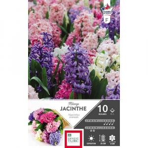 Jacinthe de bretagne - Variées - Calibre 15/+ - X10