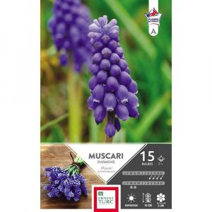 Muscari armeniacum - Calibre 8/+ - X15