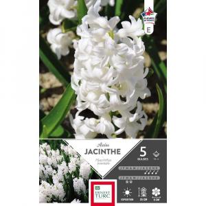 Jacinthe de bretagne aiolos - Calibre 15/+ - X5