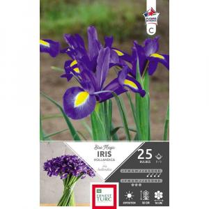 Iris hollandica blue magic - Calibre 8/9 - X25