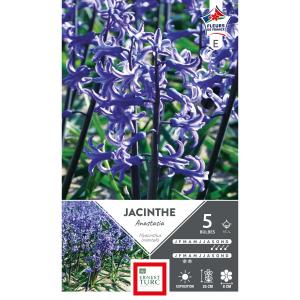 Jacinthe de bretagne anastasia - Calibre 15/+ - X5