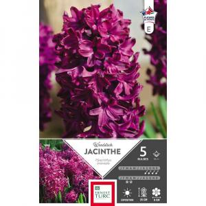 Jacinthe de bretagne woodstock - Calibre 15/+ - X5