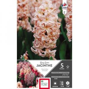 Jacinthe de bretagne gipsy queen - Calibre 15/+ - X5